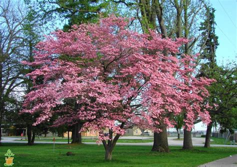 pink tree for sale pink dogwood tree pink dogwood trees for sale the