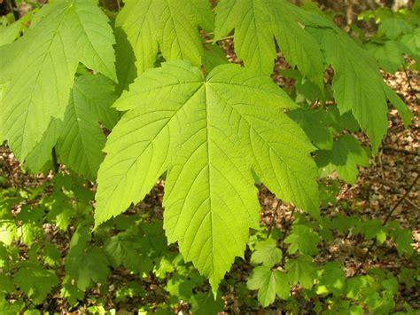 maple tree leaves maple leaf