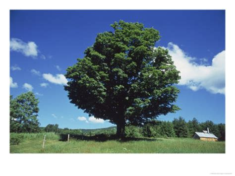 a sugar maple tree in the summer vermont poster picassomio