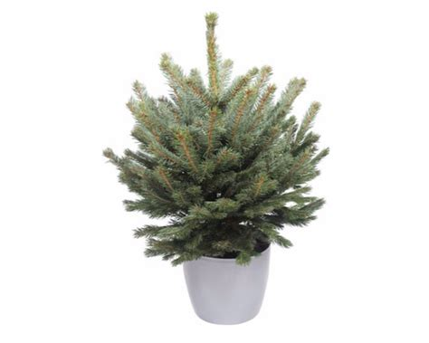 cheapest real trees the cheapest trees available for you to buy this