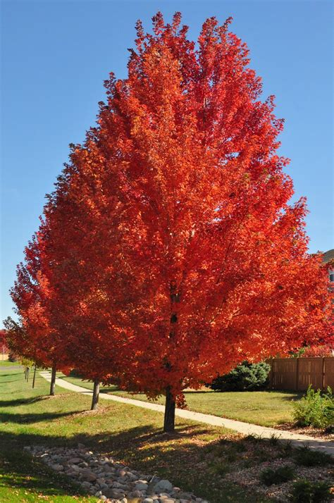 maple tree in fall trees 183 evansville