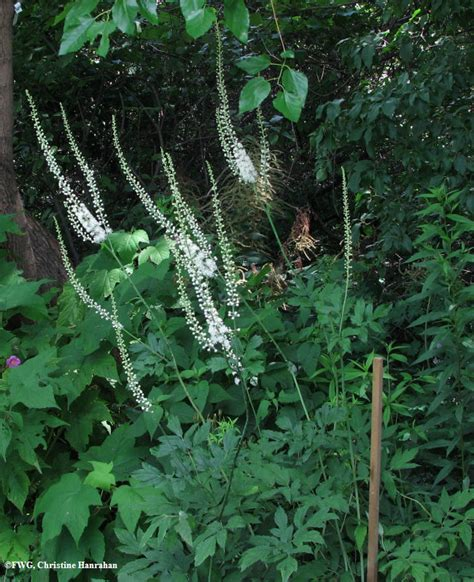 black snakeroot sanicula marilandica photo fletcher