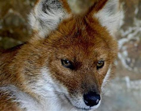of animals picture 1 of 6 dhole cuon alpinus pictures images