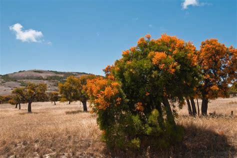 western australian tree mistletoe western australia s tree