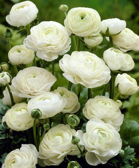 white bulbs ranunculus white shades ranunculus indoor bulbs