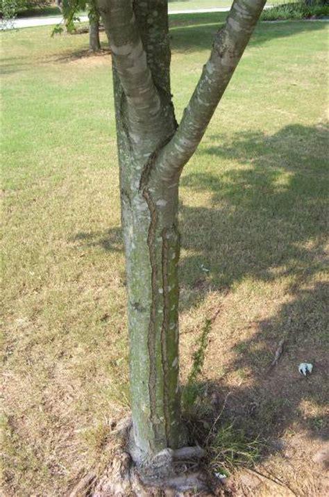 maple tree trunk splitting maple bark splits 171 walter reeves the gardener