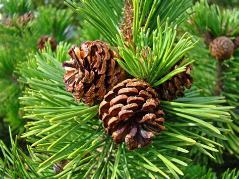 with pine cones pine tree prints pine cones green forest baslee