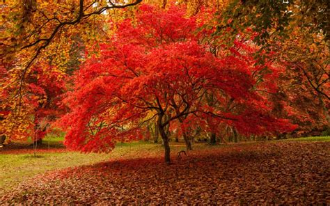 maple tree kingdom your favourite places for leaf peeping in britain