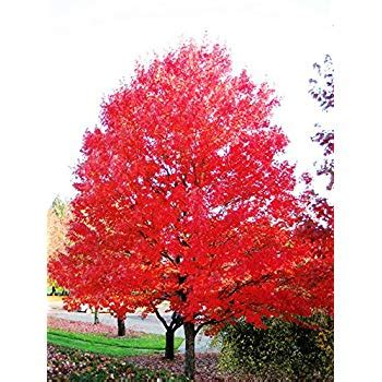 maple tree all year scarlet princess japanese maple a new variety acer palmatum scarlet