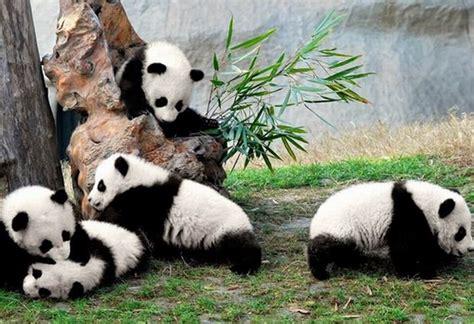 panda china chengdu city tours chengdu panda tour packages sichuan