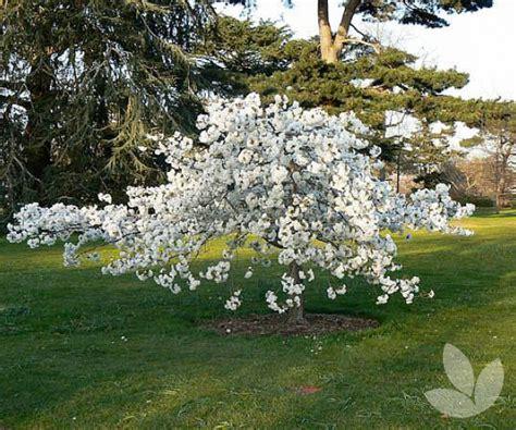 mt fuji cherry tree nz prunus shirotae syn mt fuji mt fuji cherry trees speciality trees