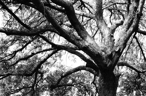 black and white tree black and white tree domain picture 1 million