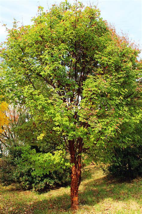 trees we paperbark maple shade tree farm