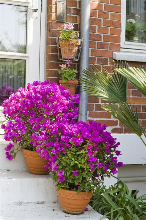 exotische pflanzen bougainvillea drillingsblume