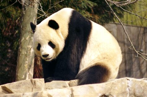 one panda threatened by a hug endangered panda bites