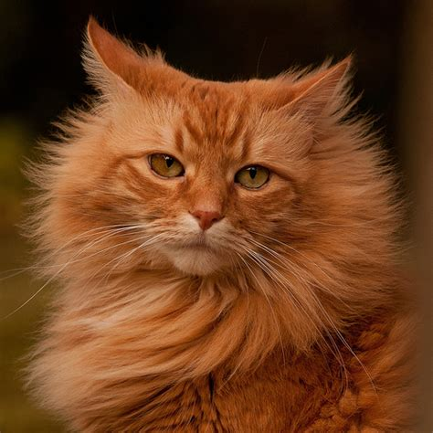 orange cat flickr photo