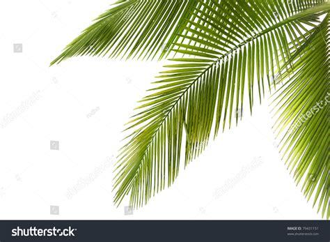 tree on white part palm tree on white background stock photo 79431151