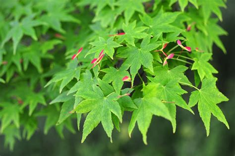acer palmatum japanese maple green supertrees 174 inc