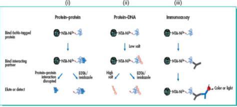 ni nta magnetocapture protein interaction assays ni nta magne