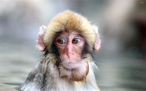 monkey wallpaper for walls monkey wallpaper animal wallpapers 18093