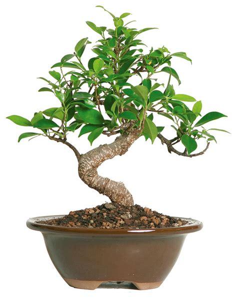 Golden Gate Ficus Bonsai Tree   Asian   Plants   by Brussel's Bonsai