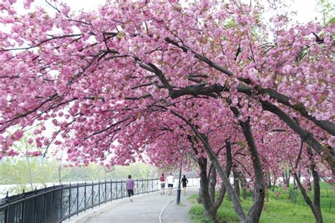 photo entry cherry blossom tree