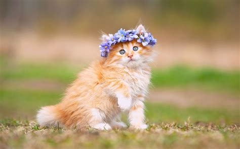 Cat Wallpaper by Wallpaper Kitten Adorable Hairband Hd Animals 897