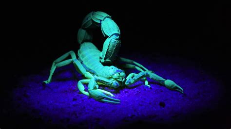 Car Wallpapers Hd 4k Escorpio Horoscopo by Illuminating Brain Tumours With Scorpion Toxins Could Save