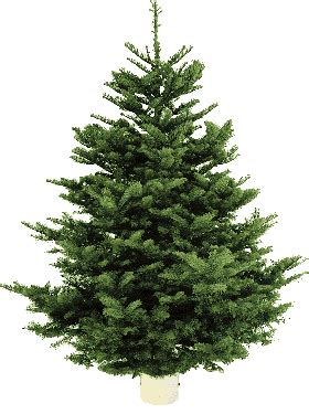 noble tree costco limited time 7 8 ft noble fir trees 39