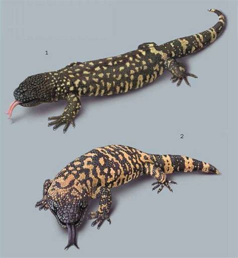beaded lizard mexican beaded lizard facts and pictures reptile fact