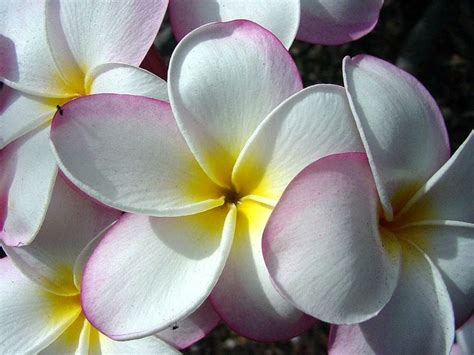 plumeria dollar origami 17 best images about hawaiin leis for graduation on