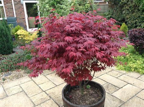 planting a maple tree japanese purple maple tree 15 20cm acer palmatum atropurpureum plant ebay