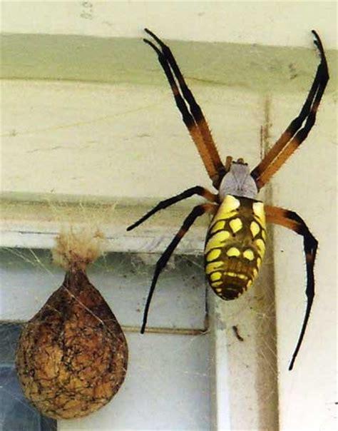 Garden Spider Nest Yellow Garden Spider What S That Bug
