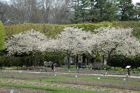 mt fuji cherry tree nz mt fuji flowering cherry prunus serrulata shirotae in reno sparks lake tahoe carson city