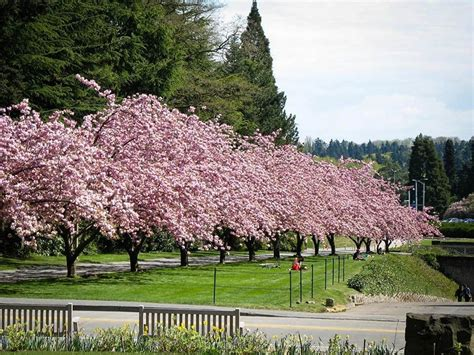 kwanzan cherry for sale the tree center