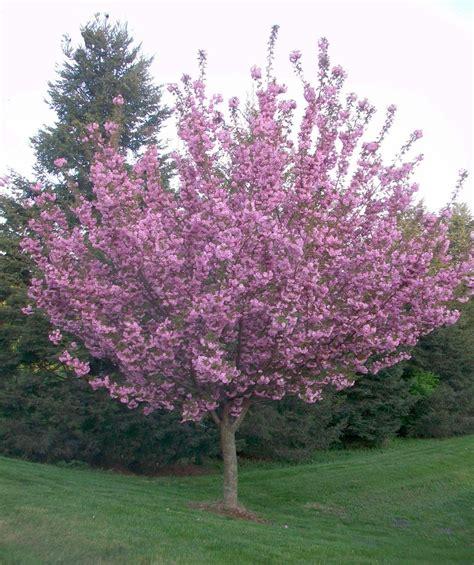 cherry trees royal burgundy japanese flowering cherry