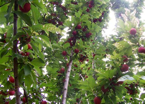 all tree fruit tree