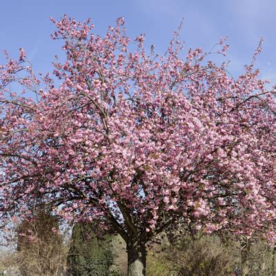 growing cherry trees in florida s trust insurance