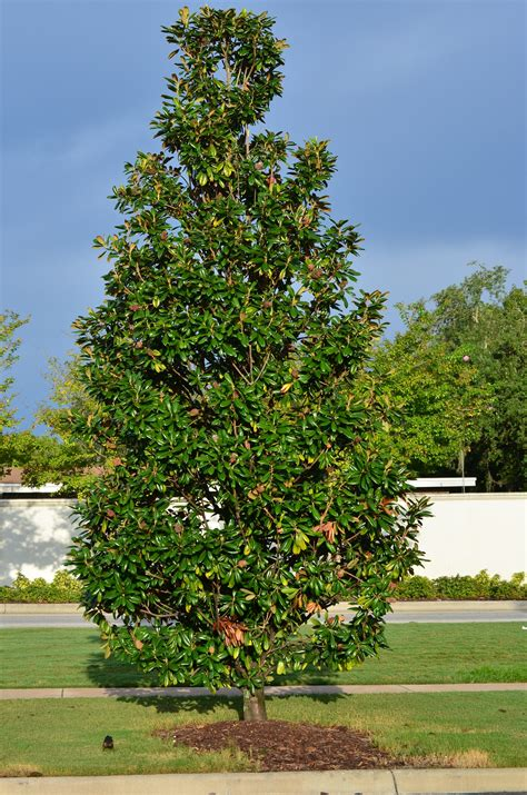 small trees for sale buy magnolia trees for sale in orlando kissimmee