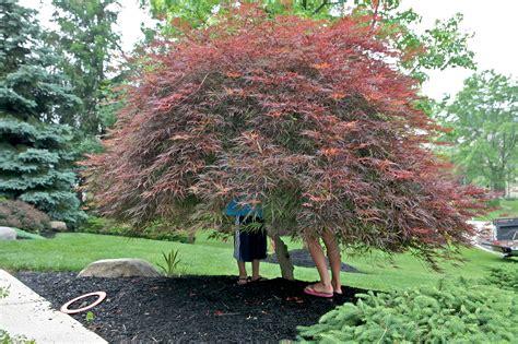 maple tree japanese the japanese maple tree ruth e hendricks photography