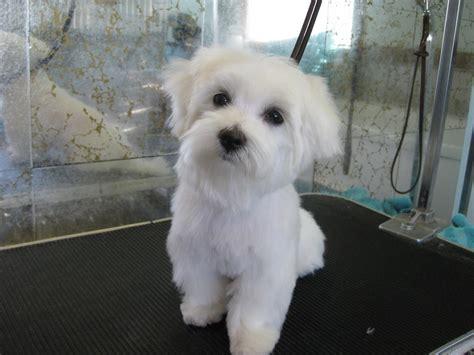 male maltese dog haircuts