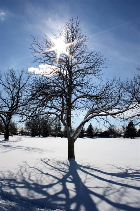 winter trees sun through winter tree branches picture free photograph