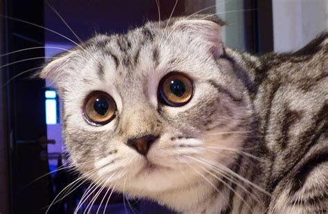 how to do a cat toffee from scottish fold kitten to cat and