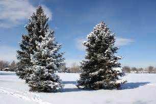tree in the snow practical permaculture albedo and absorption of solar