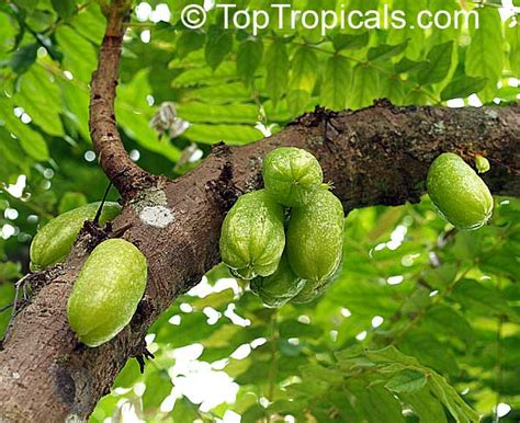 cucumber tree averrhoa bilimbi cucumber tree toptropicals