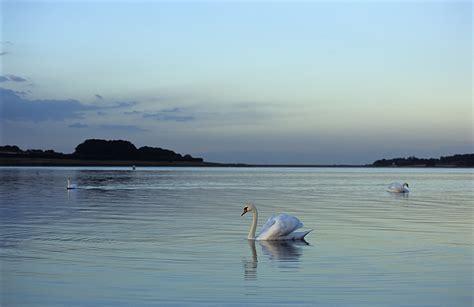 pics of file rutland water swans 508268544 jpg