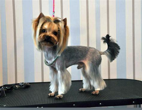how to cut yorkie hair at home yorkies hair styles photos 103262 yorkiepoo schnauzer cut
