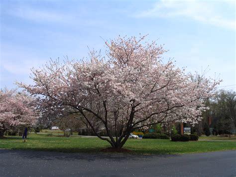 cherry trees yoshino cherry trees blooming in diana digs dirt