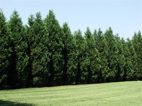 best tree images 12 reasons proving leyland cypress trees are best fast