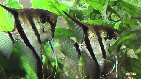 l aquarium d eau chaude mes poissons tom co